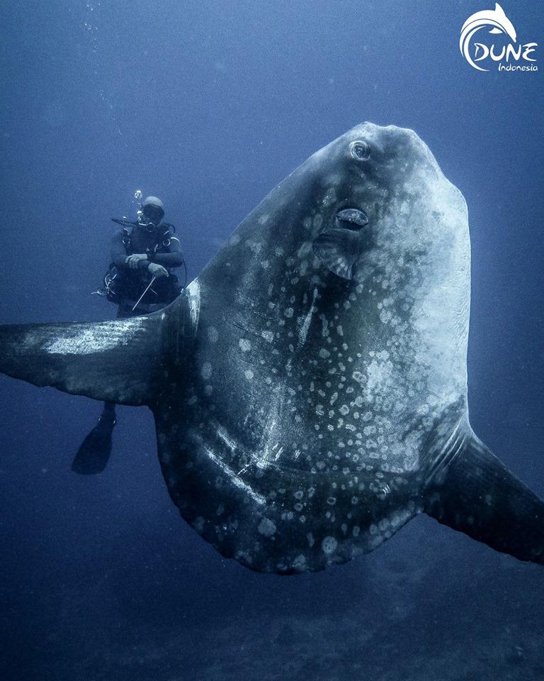 Mola Mola Bali : ne manquez surtout pas la saison du Poisson-lune